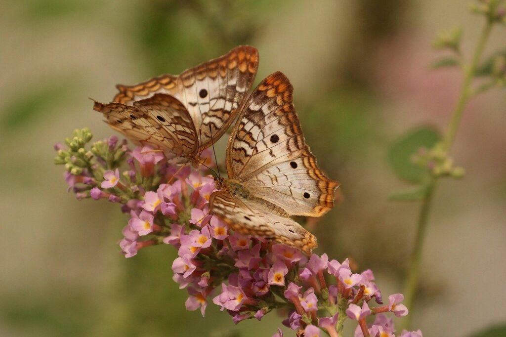 butterfly, macro, insects