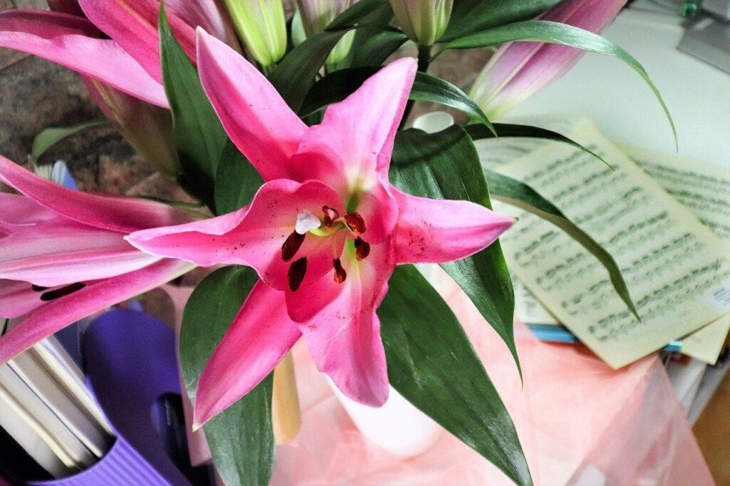 lily, lily flowers, pink lilies